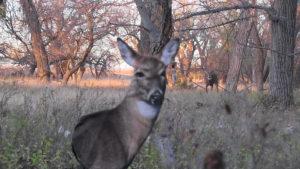 Buck Coming To Decoy