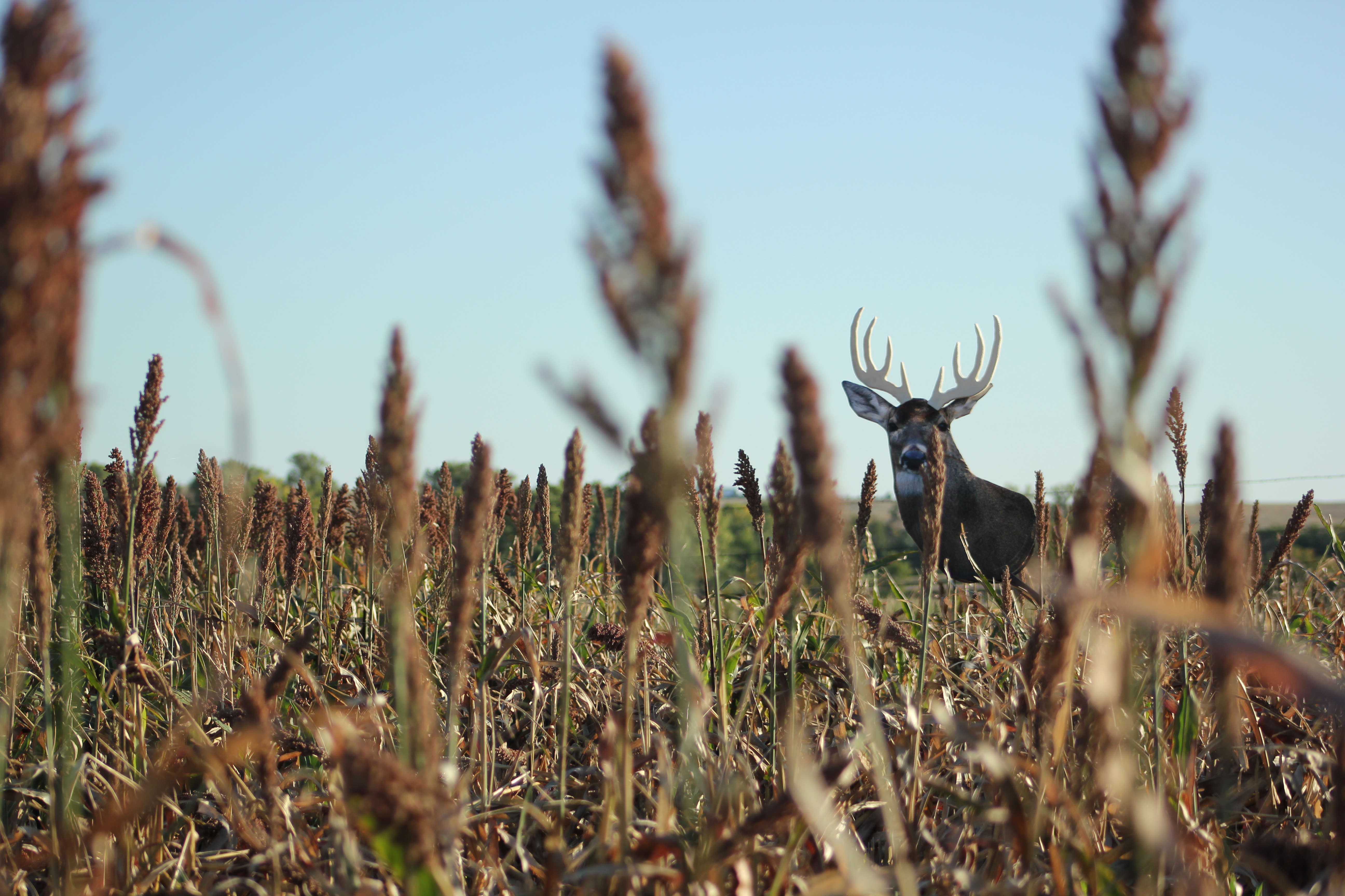 Decoy In Field