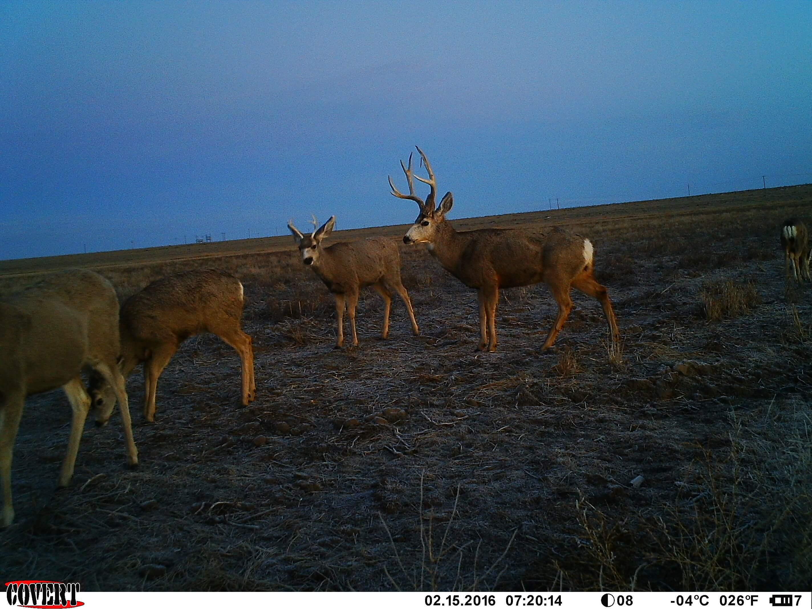 Mule Deer Big Tine